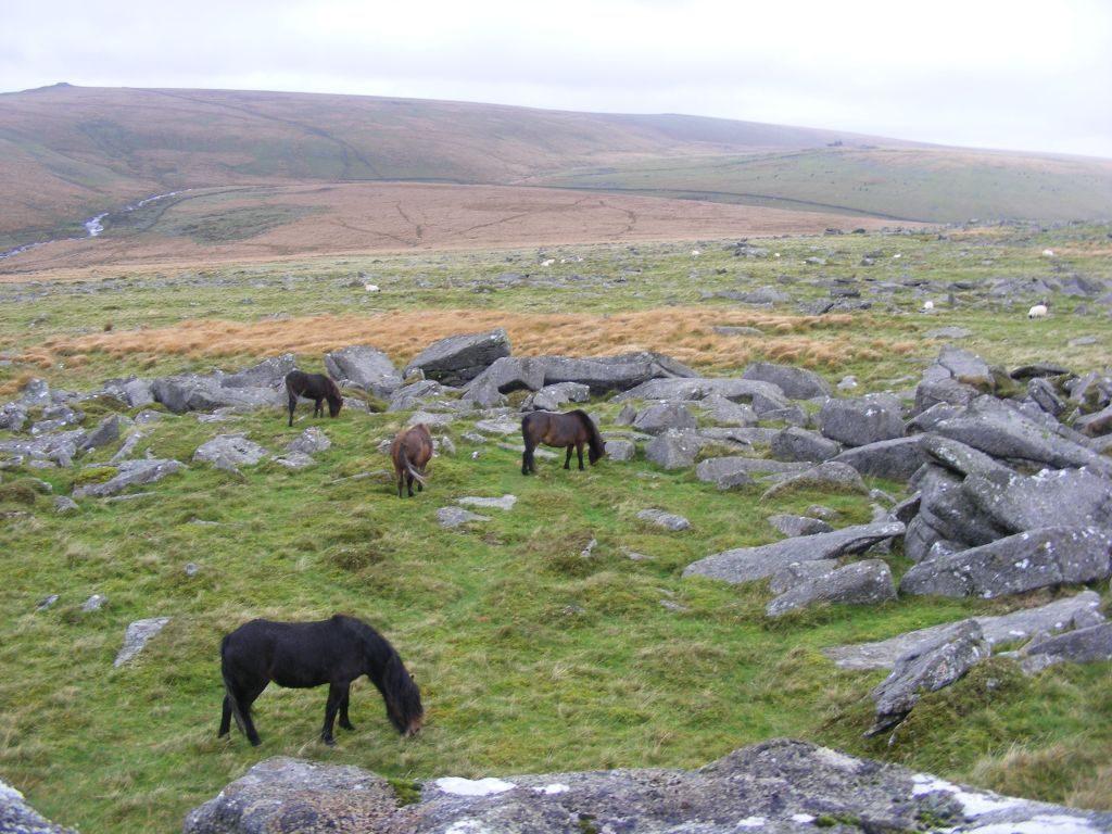 Dartmoor Ponies auf Schritt und Tritt