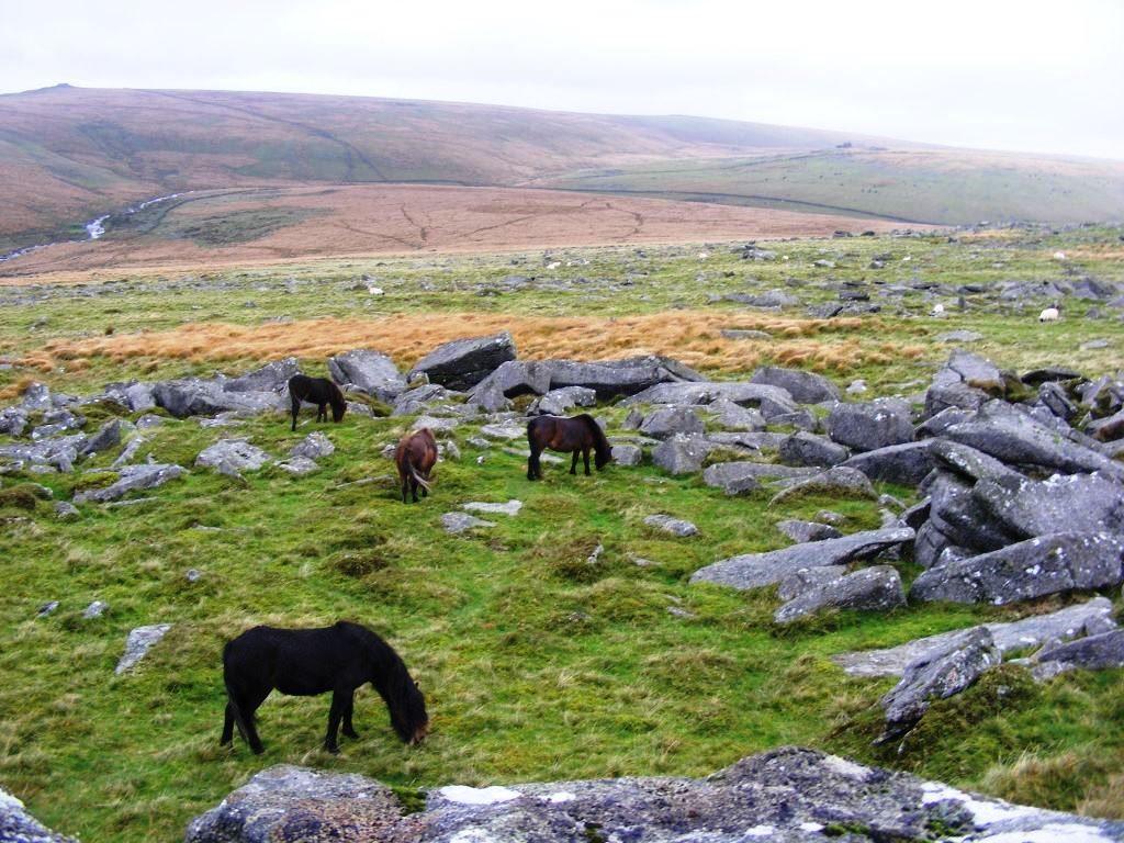 Moor Felsen Ponys
